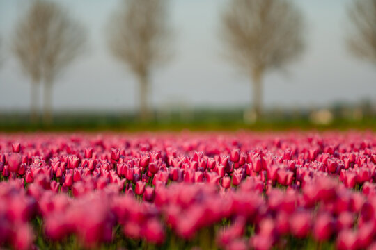 View over colorful tulips fields in the morning, Netherlands