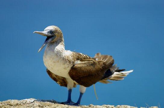 Blue-footed boobys in Poor Man's Galapagos, Ecuador – Isla de la Plata