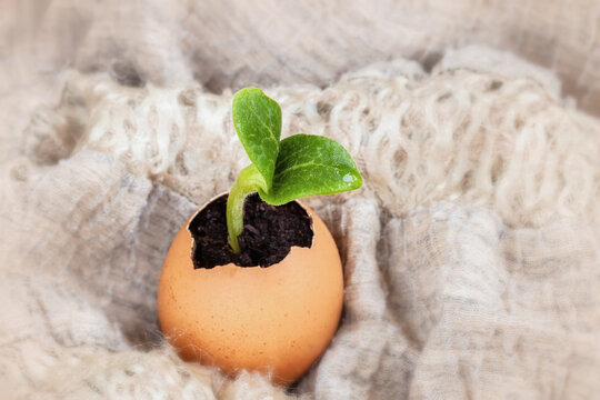 Seedling plant in eggshells, blurred background, selective focus. Concept of zero waste,New life, birth, eco gardening