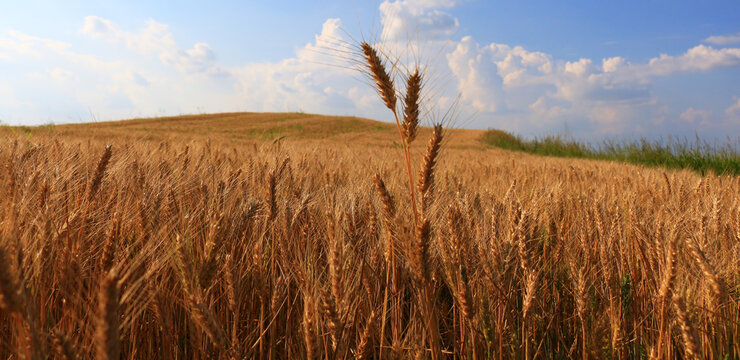 Gold Wheat on the Beautiful Field