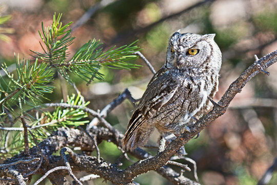 A western screech owl (Megascops kennicottii) is perched on a tree branch, its eyes half closed due to the bright daylight.