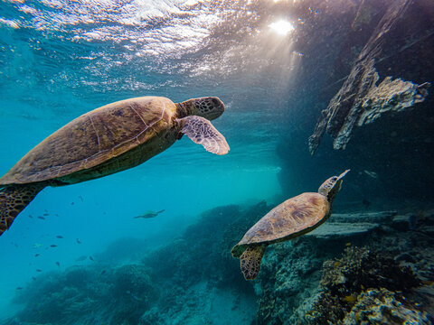 Turtles at Heron Island Queensland near the wreck