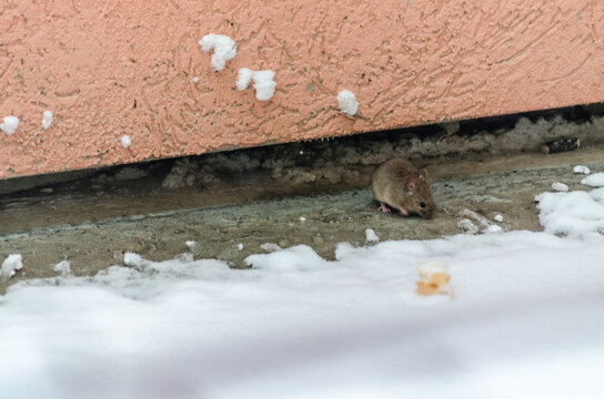 A little field mouse on a concrete terrace covered with snow