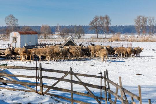 Schafherde in einem Gatter im Winter