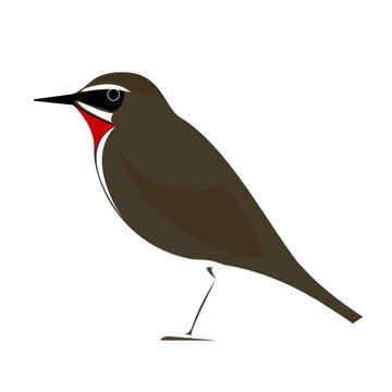 Illustration of Siberian rubythroat bird