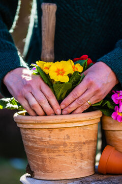 Woman planting colorful spring primula seedlings.