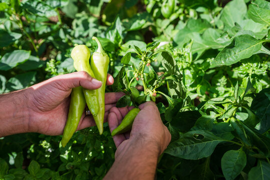 Man harvesting peppers, close up