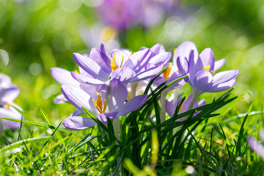 Crocus vernus, in spring