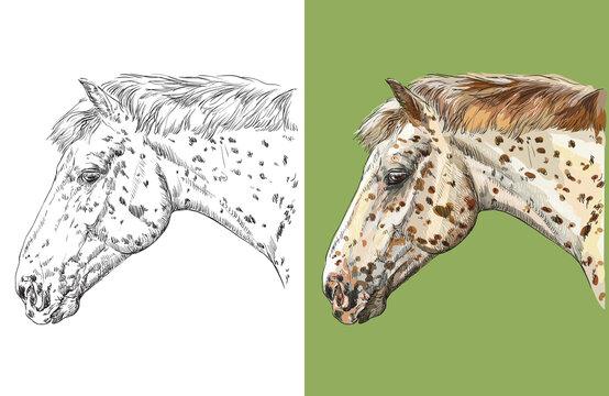 Vector illustration portrait of spotted horse Knabstrupper