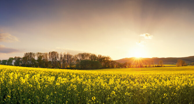 Sunset over canola field with path  in Slovakia