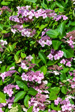 Hydrangea a summer lacecap flowering shrub plant with a purple pink summertime flower which opens from June to August, stock photo image