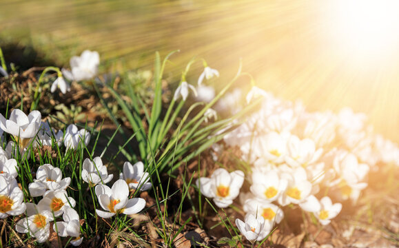 The first spring flowers are white crocuses and snowdrops on a sunny day. Hello march wallpaper, greeting card