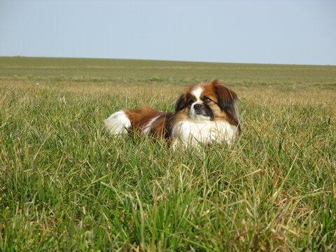 Kleiner Hund liegt müde im Gras und ruht sich aus