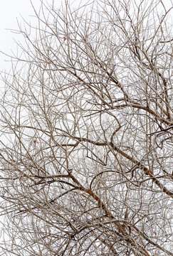 Old willow covered with snow in cloudy weather