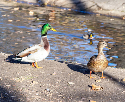 Male and female mallard duck on the shore of the pond