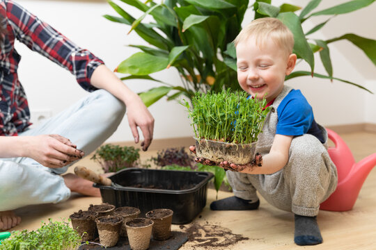 Young boy proud of growing seedlings. Holding and showing peas with sprouts and visible roots. At home gardening learning botany.