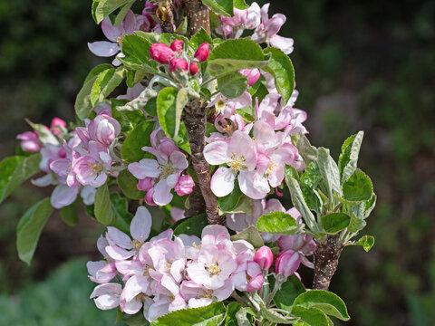 Blühender Apfelbaum, Malus, im Frühling