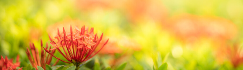 Closeup of red Rubiaceae flower on blurred gereen background under sunlight with copy space using as background natural plants landscape, ecology cover page concept.