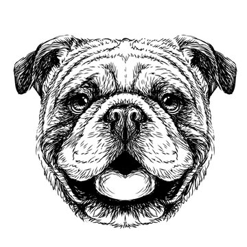 Bulldog. Black-and-white, graphic portrait of an English bulldog in a sketch style. Digital vector graphics.