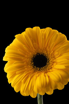 Gerbera flower of yellow color on black background