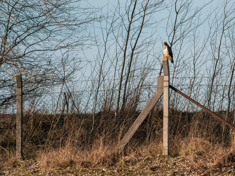 bird of prey sits on a fence post in search of prey