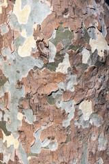 London plane tree, bark texture, platanus acerifolia