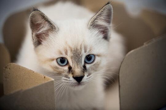 Portrait of a kitten with blue eyes.