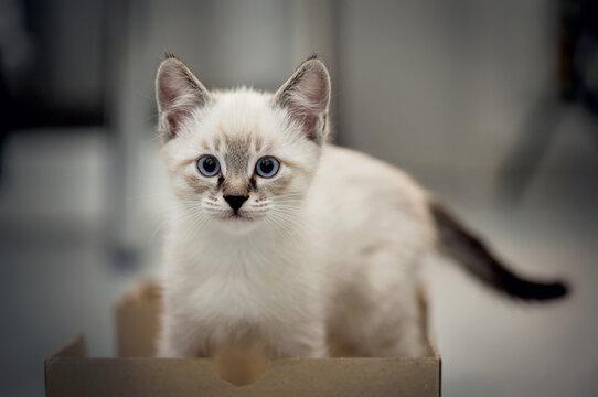 A small kitten in a cardboard box.