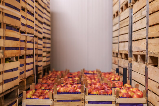 Apples in crates ready for shipping. Cold storage interior.