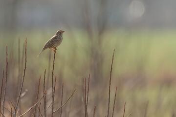 Fototapeta Dziki ptak skowronek polny siedzący na gałęzi.