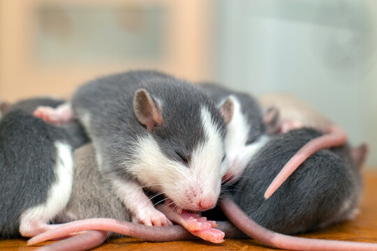 Many small funny baby rats warming together one on top of another.
