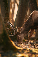 Red deer buck grazing in the woods