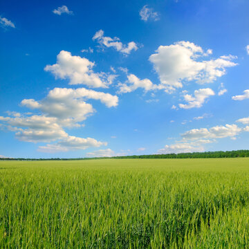 Green wheat field and blue cloudy sky.