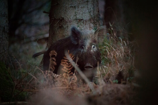 A wild boar in the early morning deep in the forest looking at the cam
