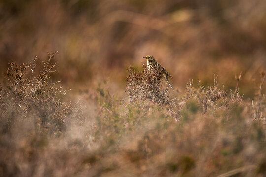 A meadow pipit bird sat on a gorse bush