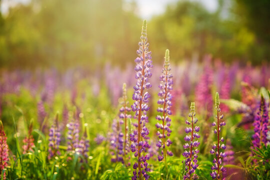 In the spring, lupine flowers bloom in close-up. A meadow of purple flowers at sunset in the sun.