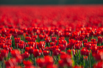Red tulip fields in the dutch countryside, South Holland, the Netherlands