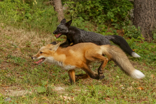 Silver Fox, a melanism form of the red fox, running with a red fox.