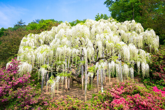 Wisteria tree in full bloom at the Ashikaga Flower Park