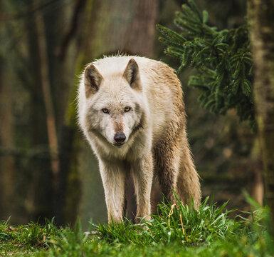 White Wolf Staring