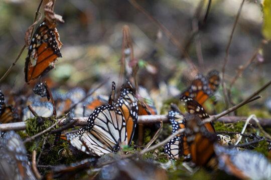 Dead monarch butterflies litter the ground at El Rosario sanctuary, in El Rosario