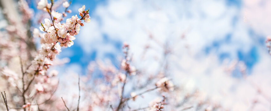 long format banner, brightly blooming apricot tree on clear blue beautiful sky background, cherry blossom spring content , selective focus