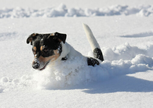 Cute Little Dog jumping around playing in deep snow. Plowing a track in the winter wonderland landscape.