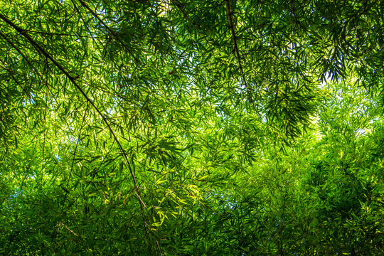Dense bamboo forest on a sunny day. Bottom view.