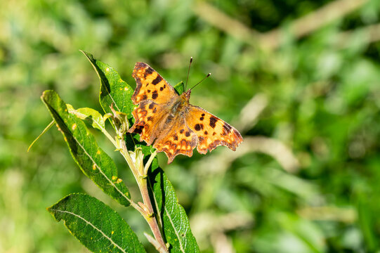 Comma Butterfly (Polygonia c-album) an orange brown flying insect in the Nymphalidae family resting with open wings on a leaf in spring, stock photo image