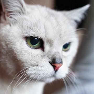 Close-up portrait of attentive grey british cat. Strict cat look.