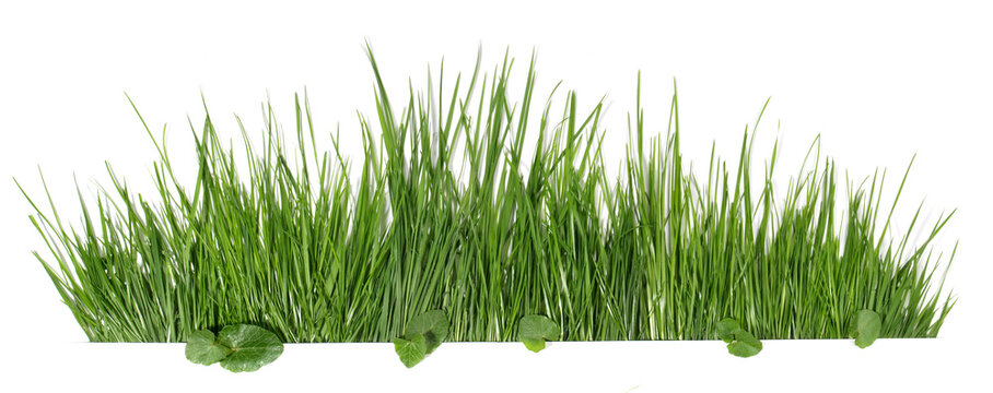 Spring grass with leaves isolated on white - Panorama