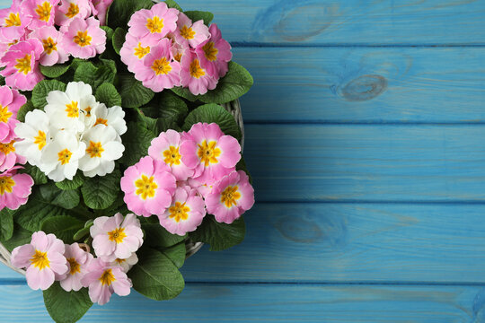 Beautiful primula (primrose) flowers in wicker basket on light blue wooden table, top view with space for text. Spring blossom
