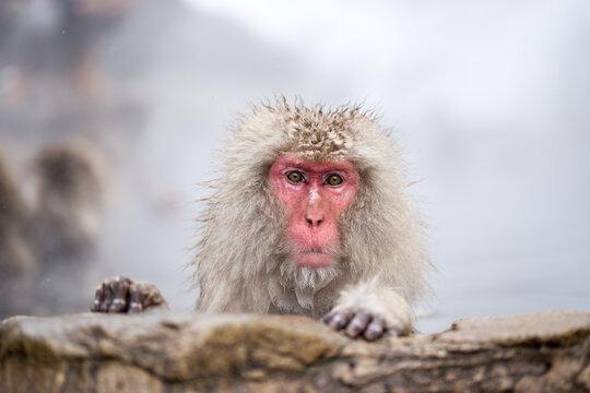 Japanese macaque at the Jigokudani monkey park, Nagano, Japan