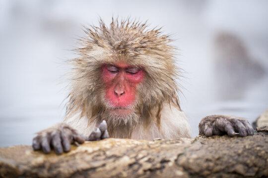 Japanese macaque relaxing in a hot spring at the Jigokudani monkey park, Nagano, Japan